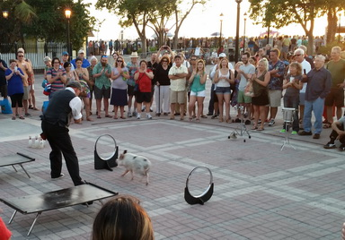 Pigs performing at the Mallory Square sunset celebration